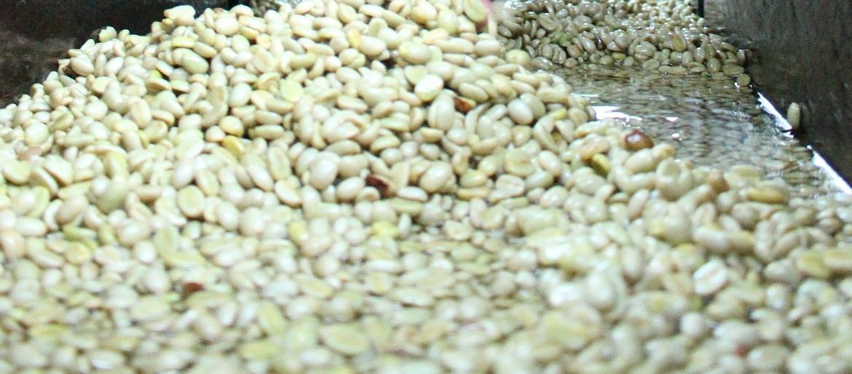zielona kawa właściwości, odchudzanie, dawkowanie