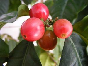 """""""Coffee berries 1"""" autorstwa Stanislaw Szydlo. Licencja CC BY-SA 3.0 na podstawie Wikimedia Commons."""